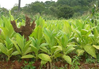 USA softens on Malawi Tobacco exports